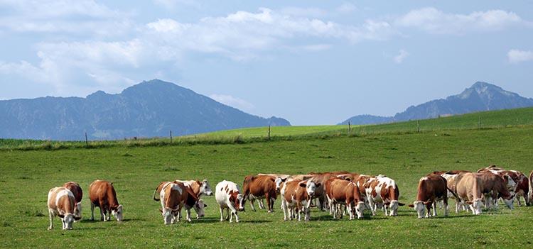 Tierhaltung_Kühe