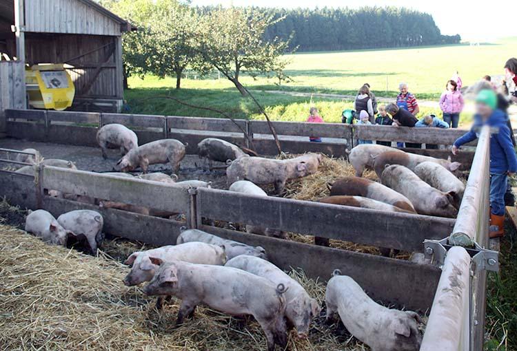 Tierhaltung_Schweine