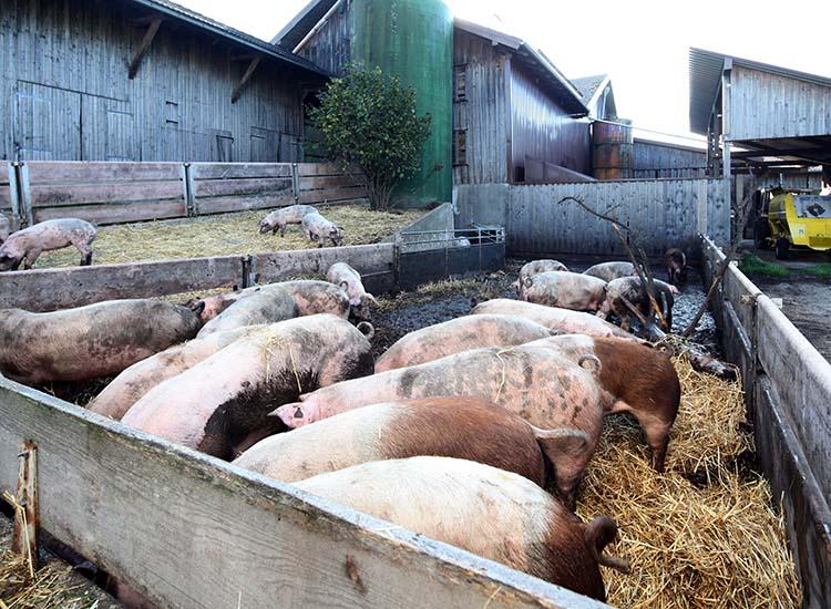 Schweine_Landwirtschaft_750px